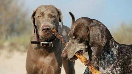 Веймаранер собака. Описание, особенности, виды, уход и цена породы веймаранер