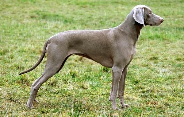 Веймаранер-собака-Описание-особенности-виды-уход-и-цена-породы-веймаранер-18