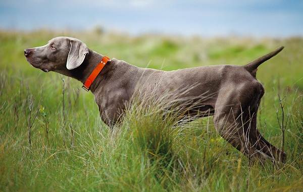 Веймаранер-собака-Описание-особенности-виды-уход-и-цена-породы-веймаранер-2