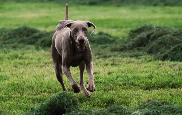 Веймаранер-собака-Описание-особенности-виды-уход-и-цена-породы-веймаранер-3