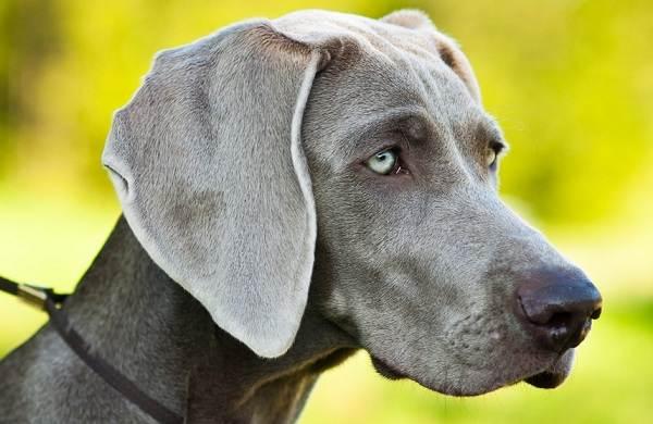 Веймаранер-собака-Описание-особенности-виды-уход-и-цена-породы-веймаранер-4