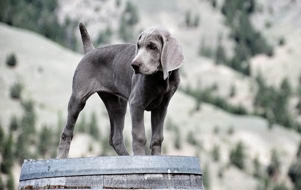 Веймаранер-собака-Описание-особенности-виды-уход-и-цена-породы-веймаранер-5
