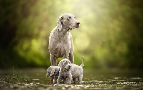 Веймаранер-собака-Описание-особенности-виды-уход-и-цена-породы-веймаранер-6