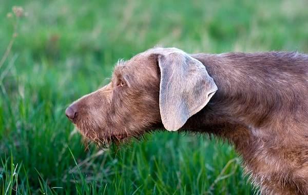 Веймаранер-собака-Описание-особенности-виды-уход-и-цена-породы-веймаранер-8