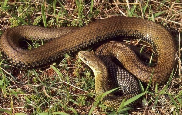 Виды-змей-Описание-особенности-названия-и-фото-видов-змей-10