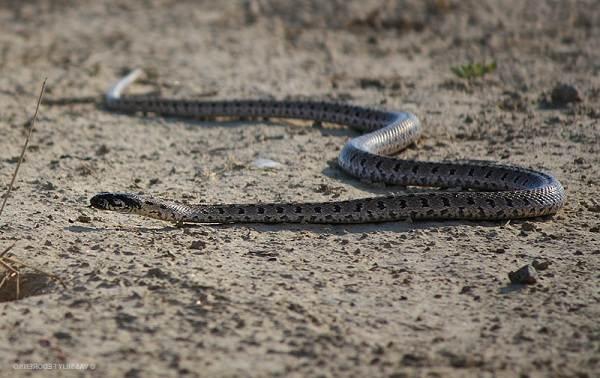 Виды-змей-Описание-особенности-названия-и-фото-видов-змей-11