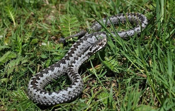 Виды-змей-Описание-особенности-названия-и-фото-видов-змей-24