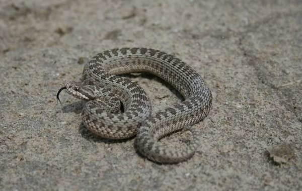 Виды-змей-Описание-особенности-названия-и-фото-видов-змей-26
