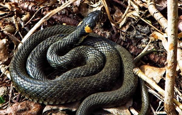 Виды-змей-Описание-особенности-названия-и-фото-видов-змей-3