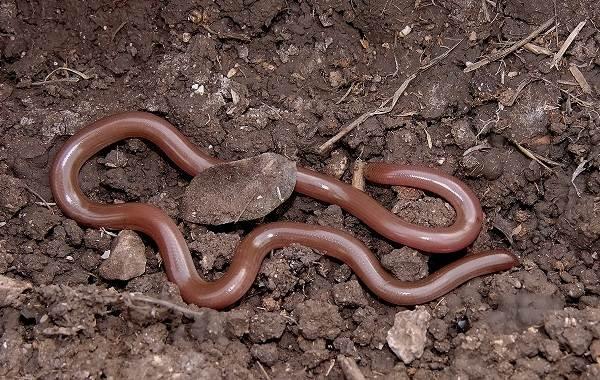 Виды-змей-Описание-особенности-названия-и-фото-видов-змей-36