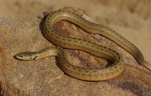 Виды-змей-Описание-особенности-названия-и-фото-видов-змей-4
