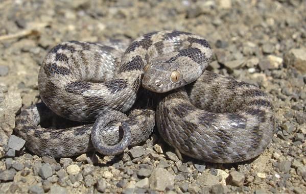 Виды-змей-Описание-особенности-названия-и-фото-видов-змей-9