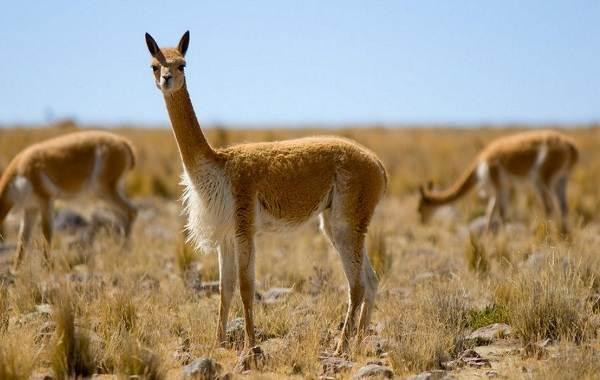 Викунья-животное-Описание-особенности-виды-образ-жизни-и-среда-обитания-викуньи-1