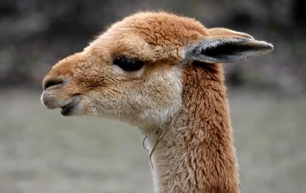 Викунья-животное-Описание-особенности-виды-образ-жизни-и-среда-обитания-викуньи-2