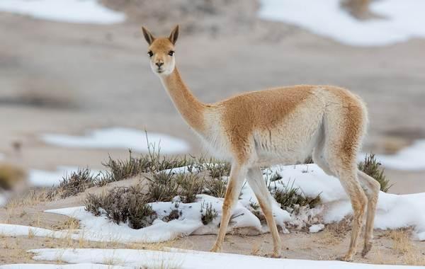 Викунья-животное-Описание-особенности-виды-образ-жизни-и-среда-обитания-викуньи-3