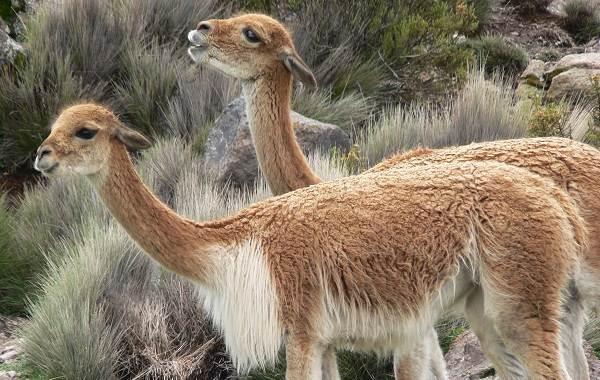 Викунья-животное-Описание-особенности-виды-образ-жизни-и-среда-обитания-викуньи-4