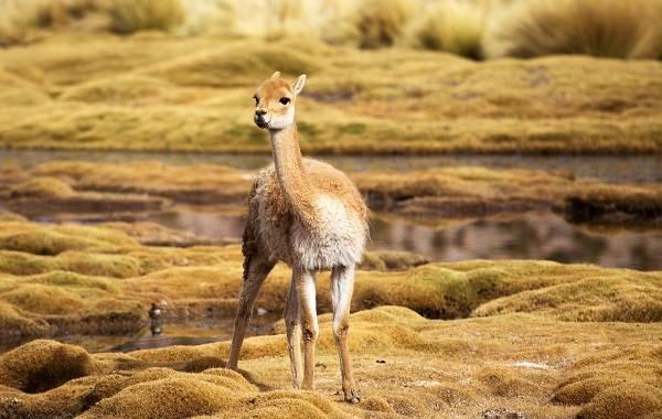 Викунья-животное-Описание-особенности-виды-образ-жизни-и-среда-обитания-викуньи-5