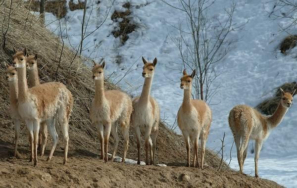 Викунья-животное-Описание-особенности-виды-образ-жизни-и-среда-обитания-викуньи-6