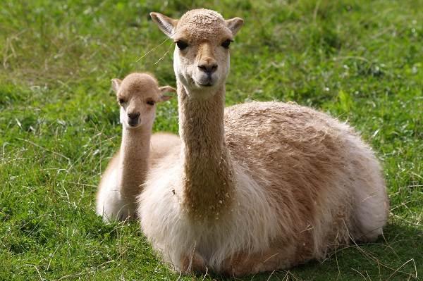 Викунья-животное-Описание-особенности-виды-образ-жизни-и-среда-обитания-викуньи-7
