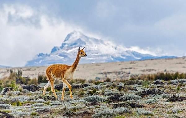 Викунья-животное-Описание-особенности-виды-образ-жизни-и-среда-обитания-викуньи-8
