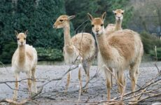 Викунья животное. Описание, особенности, виды, образ жизни и среда обитания викуньи