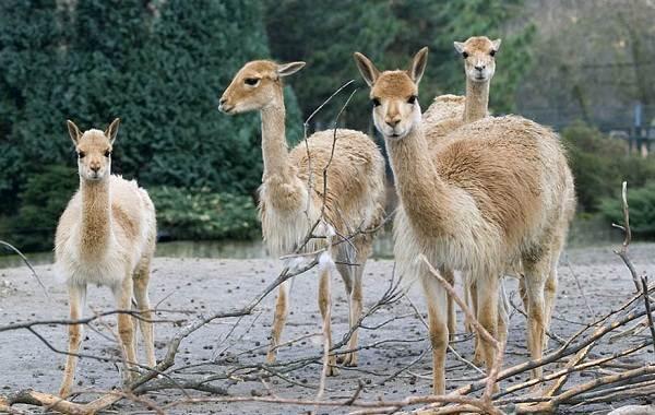 Викунья-животное-Описание-особенности-виды-образ-жизни-и-среда-обитания-викуньи-9