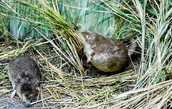 Выхухоль-животное-Описание-особенности-виды-образ-жизни-и-среда-обитания-выхухоли-1