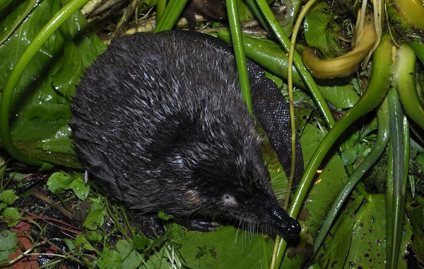 Выхухоль-животное-Описание-особенности-виды-образ-жизни-и-среда-обитания-выхухоли-14
