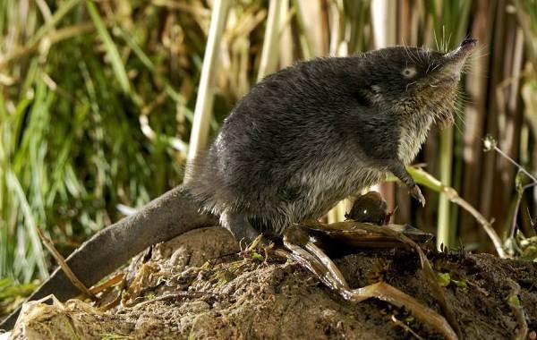Выхухоль-животное-Описание-особенности-виды-образ-жизни-и-среда-обитания-выхухоли-3