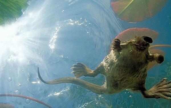 Выхухоль-животное-Описание-особенности-виды-образ-жизни-и-среда-обитания-выхухоли-4
