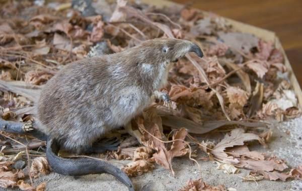 Выхухоль-животное-Описание-особенности-виды-образ-жизни-и-среда-обитания-выхухоли-5