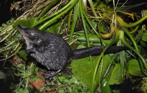 Выхухоль-животное-Описание-особенности-виды-образ-жизни-и-среда-обитания-выхухоли-6
