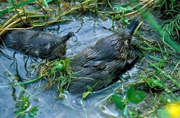 Выхухоль-животное-Описание-особенности-виды-образ-жизни-и-среда-обитания-выхухоли-9