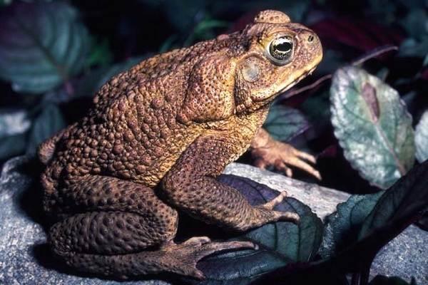 Жаба-животное-Описание-особенности-виды-образ-жизни-и-среда-обитания-жабы-1