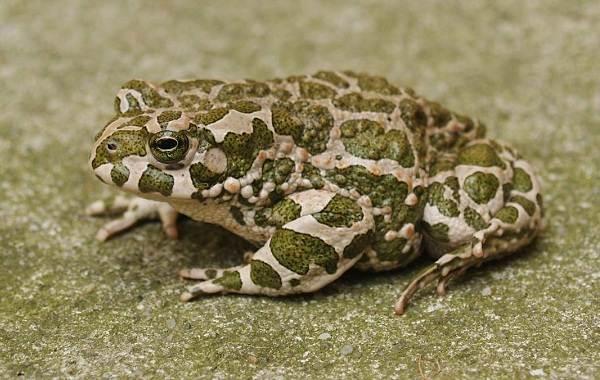 Жаба-животное-Описание-особенности-виды-образ-жизни-и-среда-обитания-жабы-10