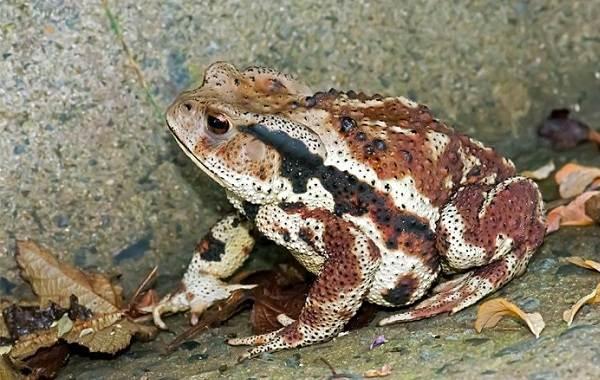 Жаба-животное-Описание-особенности-виды-образ-жизни-и-среда-обитания-жабы-11
