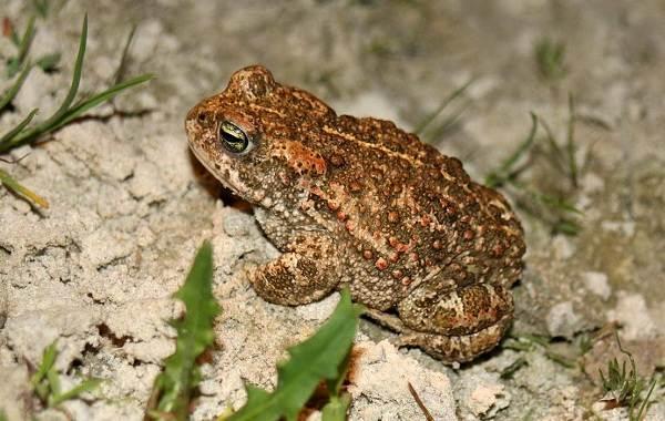 Жаба-животное-Описание-особенности-виды-образ-жизни-и-среда-обитания-жабы-12