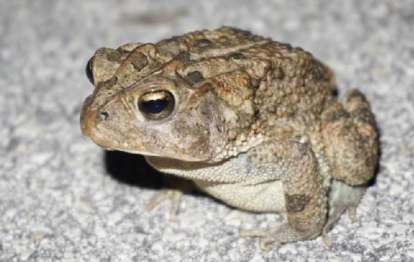 Жаба-животное-Описание-особенности-виды-образ-жизни-и-среда-обитания-жабы-15