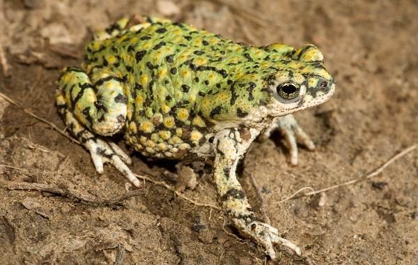 Жаба-животное-Описание-особенности-виды-образ-жизни-и-среда-обитания-жабы-16