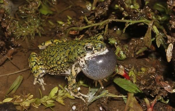 Жаба-животное-Описание-особенности-виды-образ-жизни-и-среда-обитания-жабы-17