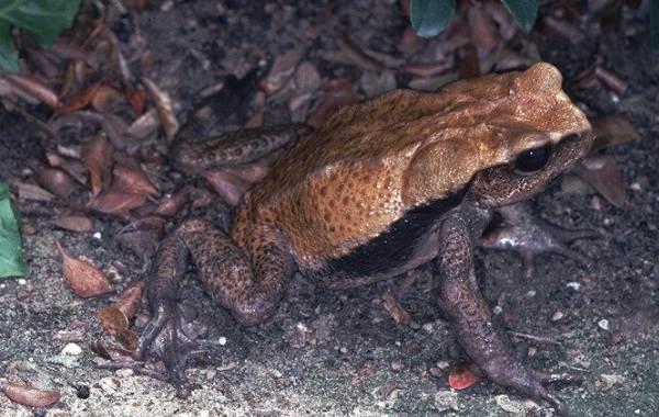 Жаба-животное-Описание-особенности-виды-образ-жизни-и-среда-обитания-жабы-18