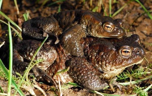 Жаба-животное-Описание-особенности-виды-образ-жизни-и-среда-обитания-жабы-2