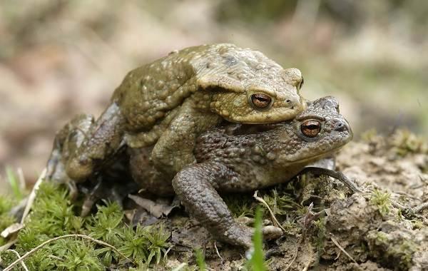 Жаба-животное-Описание-особенности-виды-образ-жизни-и-среда-обитания-жабы-20