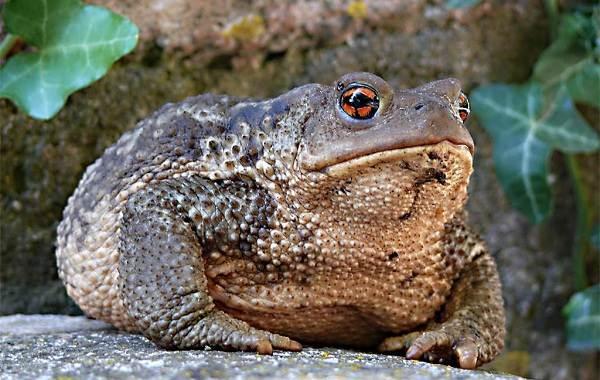Жаба-животное-Описание-особенности-виды-образ-жизни-и-среда-обитания-жабы-4