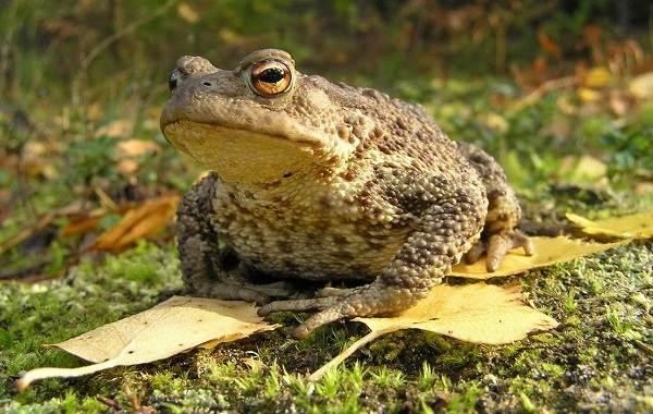 Жаба-животное-Описание-особенности-виды-образ-жизни-и-среда-обитания-жабы-6
