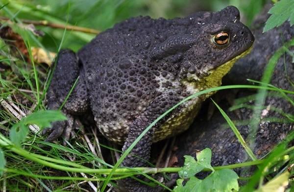 Жаба-животное-Описание-особенности-виды-образ-жизни-и-среда-обитания-жабы-7