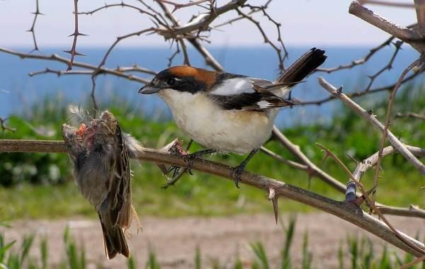 Жулан-птица-Описание-особенности-виды-образ-жизни-и-среда-обитания-жулана-1