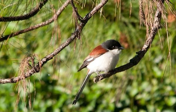 Жулан-птица-Описание-особенности-виды-образ-жизни-и-среда-обитания-жулана-10