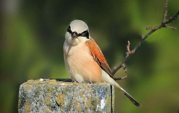 Жулан-птица-Описание-особенности-виды-образ-жизни-и-среда-обитания-жулана-11