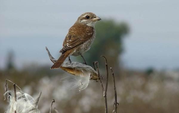 Жулан-птица-Описание-особенности-виды-образ-жизни-и-среда-обитания-жулана-12